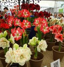 Amaryllis Flowers Care Of Amaryllis Bulbs Care Of Amaryllis Bulbs