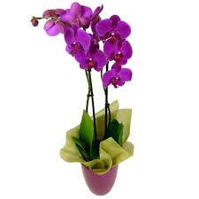 Orchid Delivery Phalaenopsis Orchid Free Uk Delivery Post A Rose Flowers