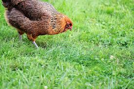 pet tales how to keep your backyard chickens u2014 and you u2014 healthy