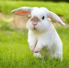 hopping bunny image result for bunnies hopping animals friends