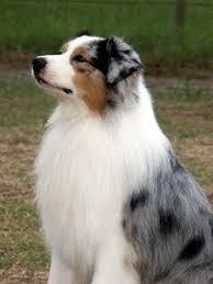 australian shepherd name origin the bluberyl name bluberyl