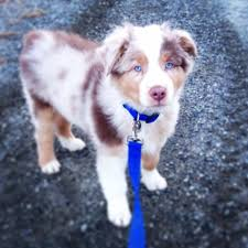australian shepherd smart 1048 best cute animals images on pinterest animals aussies and