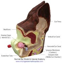 Anatomy Of A Cats Eye Ventral Bulla Osteotomy Cats Middle Ear Surgery Michigan Ave