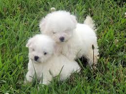 bichon frise vs yorkie the happy woofer bichon frise delaware dog breeder puppies