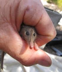 Seeking Honey Honey Possum Found In Yarraweyah Falls Revegetation Site