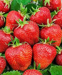 buy strawberry u0027ostara u0027 bakker com
