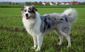 australian shepherd and beagle mix australian shepherds with skin allergies dog food facts