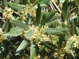 the world s tree species olive tree