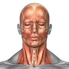 Interactive Muscle Anatomy Anatomy Of Human Face And Neck Muscles U2014 Anatomy References For