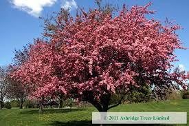 malus rudolph crabapple trees ashridge trees