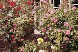 Fertilizer For Flowering Shrubs - bananas for fertilizing roses home guides sf gate