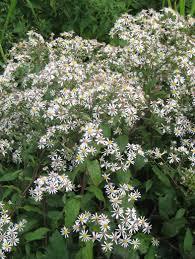native plants that attract butterflies eurybia aster divaricata white wood aster abundant white