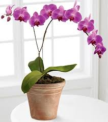 orchid plants purple single phael 75 00 boca orchids florist orchid