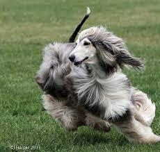afghan hound rescue england lurecoursinggtcahc 366loreneafghan afghan hound afghans and dog