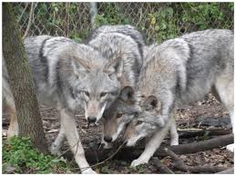 australian shepherd wolf mix there are more than a million coywolves in the northeast