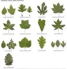 michigan tree identification by leaf identify trees by their