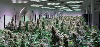 companies who grow marijuana legally ganjapreneur