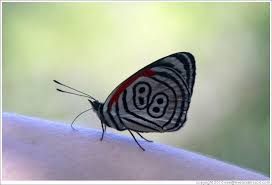 butterfly with 88 pattern on its wings on my arm path to