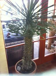 Yucca Wohnzimmer Yucca Filifera Im Kübel Seite 1 Yucca U0026 Agaven Palmenforum De