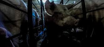 christensen farms u0027 factory pig farm investigation from last chance