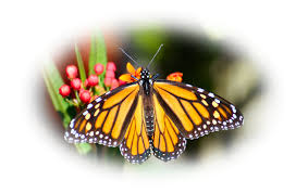 chuck nelson photography the miracle in your back yard monarch