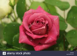 single red rose universal symbol for love and beauty stock photo