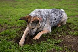 Can You Bury A Dog In Your Backyard How To Train Your Dog To Stop Digging Pethelpful