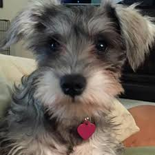 what is precious here schnauzers 2015 pinterest miniature