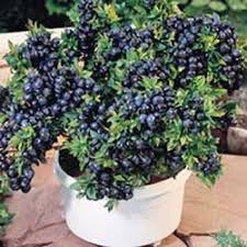 growing blueberries in containers how to grow blueberries in