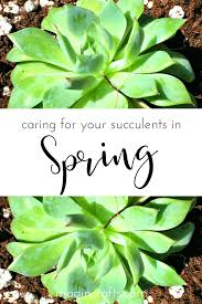 succelents caring for your succulents in the spring mad in crafts