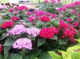 pentas flower pentas provide landscape color now through fall lsu agcenter