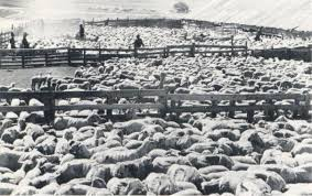australian shepherd idaho las rocosa australian shepherds