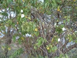 file mexican tree with flowers and fruits jpg wikimedia commons