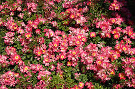 drift roses companion plants for drift roses plants that grow well with drift