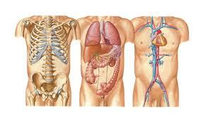 Right Side Human Anatomy Internal Organs On Left Side Of Body Human Anatomy Chart