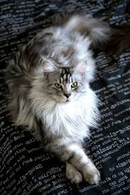 best 25 maine coon cats ideas on pinterest maine coon