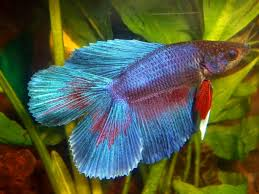 types of betta fish tail types and patterns aquarium online store