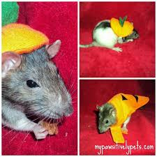 Halloween Rat Costume Halloween Costume Ideas Small Pets Pawsitively Pets