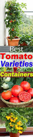 Types Of Patio Tomatoes Best Tomato Varieties For Containers Balcony Garden Web