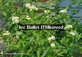 find milkweed plants and milkweed seeds for monarchs 25
