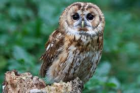 10 ways to help owls owl conservation tips