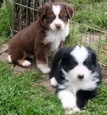 australian shepherd puppy texas miniature toy aussie australian shepherds puppies for sale