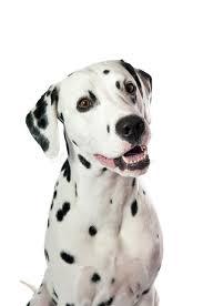 dalmatian dog royalty free stock images image 27197539