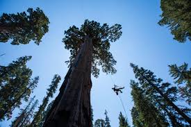 ascending one of the world u0027s oldest tallest trees for science and