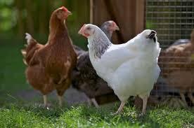 Chickens Backyard The Basics Of Raising Backyard Chickens Sjer January 2016