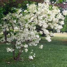 ornamental trees zone 6 small 6b best weeping