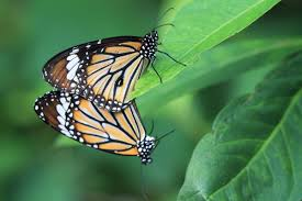 16 incredibly marvelous facts about monarch butterflies