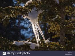 winter christmas season tree icicles frozen ice spikes hang from
