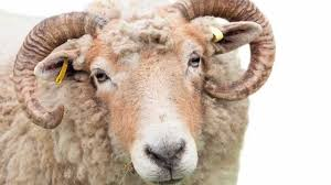 sacrificial ram owner to death youtube