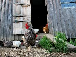 episode 210 backyard chickens growing a greener world
